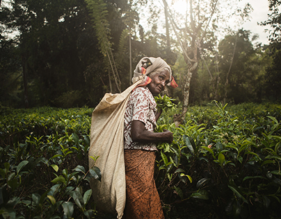 The Raw Gold of Sri Lanka: Ceylon Tea