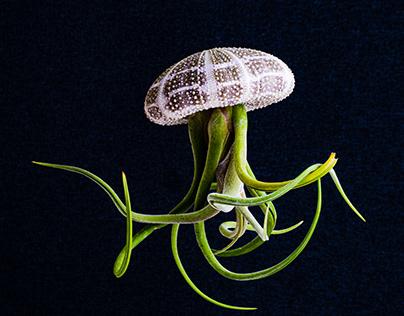 Jellyfish Caput-Medusae