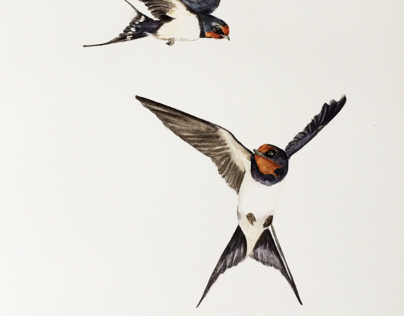 Barn swallows in watercolor