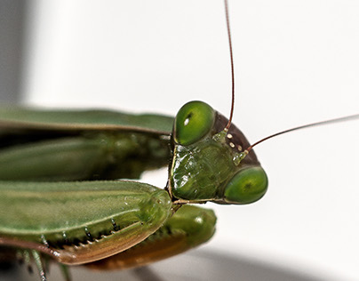 In the look of green Praying Mantis