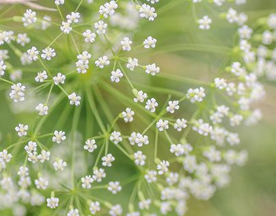 Botanical photo of daucus carota