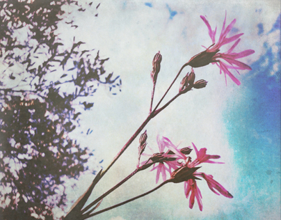 pink ragged robin & other tiny wild flowers