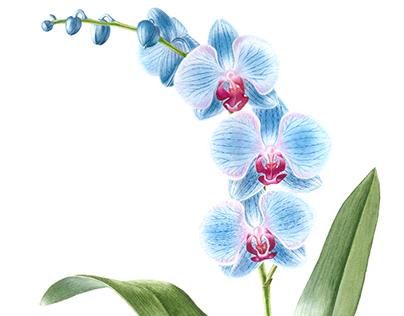 Botanical Art: Phaelenopsis