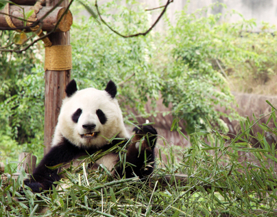 Sichuan Panda Breeding Center