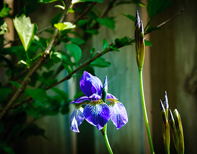 First Iris Spring 2015