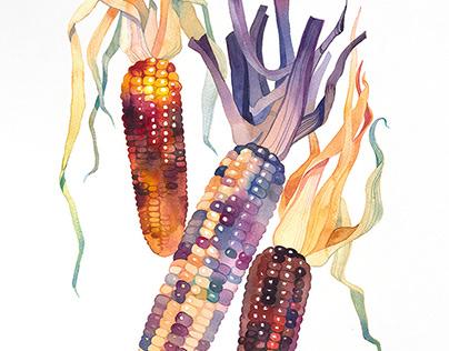 INDIAN CORN, Watercolor