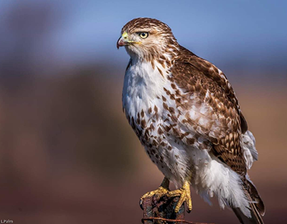 My favorite  Red-tailed Hawk