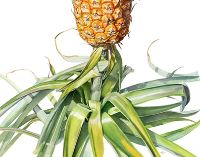 Pineapple (Bromeliad)