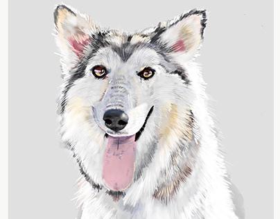 The Husky Dog