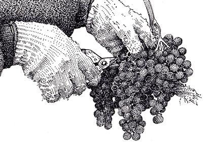 Vine & Wine Themed Illustrations