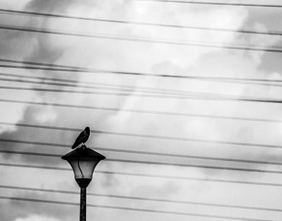 The Crow and The Power Lines