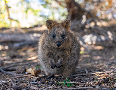 Little meeting with a quokka on Rottnest Island.