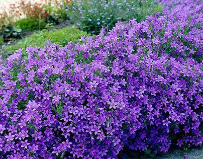 Purple Flowers - Hoa màu tím