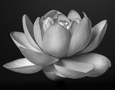 Sacred Lotus Flower Study