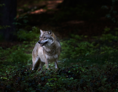 Where the Wolf Lives the Forest Grows