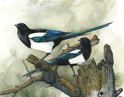 Magpies - Illustration