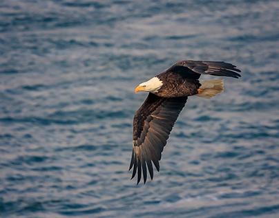 Bald Eagles-Starved Rock
