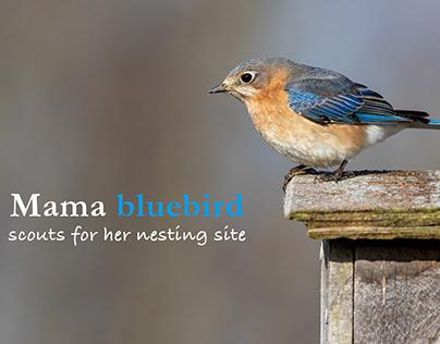 Bluebird tales