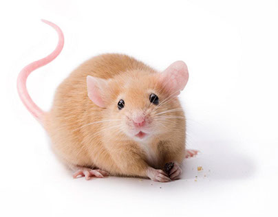 Tips for Caring for Pet Rats and Mice