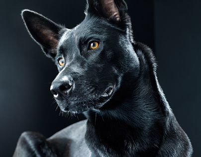 Black Dog : Bagheera