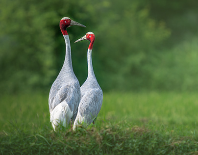 The Romance of the Sarus Cranes : The Lifetime Love