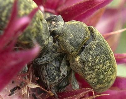 Macro Weevil, beetle