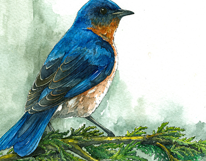 Eastern Bluebird - Illustration
