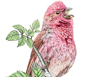 Bird illustration, Common Rosefinch