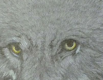 """Bandit"" leader of the pack of wolves"