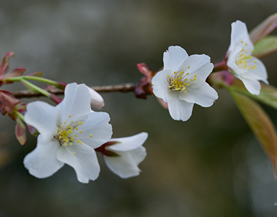 WILD CHERRY BLOSSOMS