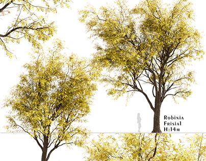 Set of Robinia Pseudoacacia Frisia Trees (Black Locust)