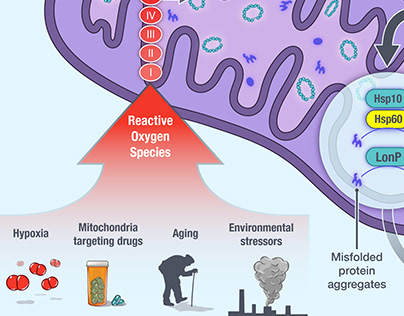 MitoUPR and the role of Hsp60, Research Illustration