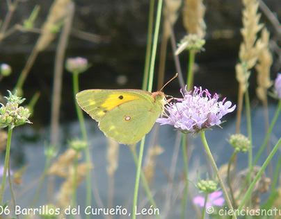 Lepidópteros