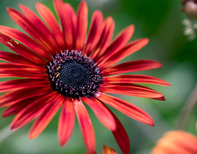 Red African Daisies