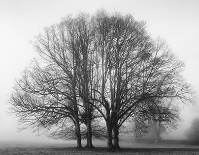 Gatton Park Old Oak Tree