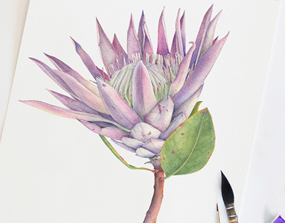 King Protea. Watercolor Botanical Illustration.