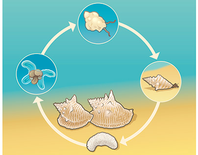 Conch Life Cycle