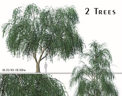 Set of Willow Acacia Tree (Acacia Salicina) (2 Trees)