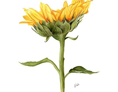Watercolor Sunflower Illustration