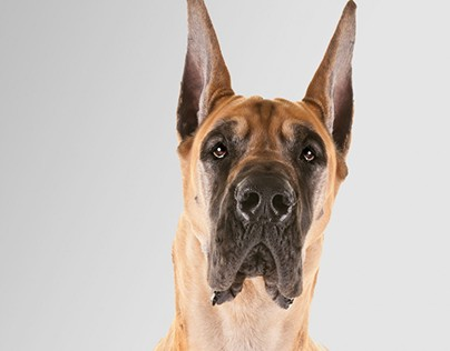 About the Great Dane