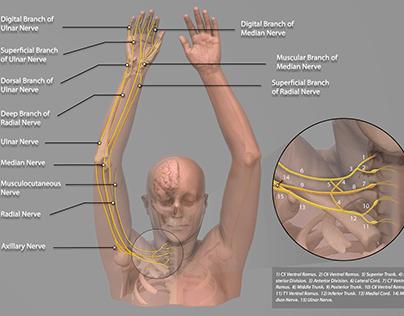 The Brachial Plexus