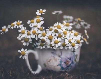 Camomile (daisies)