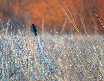 """""""Song of the Blackbird"""" (2020)"""