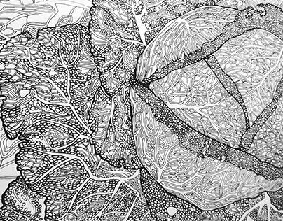 Cabbage illustration