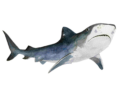 Tiger Shark watercolor illustration