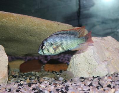 """Haplochromis sp. """"blue obliquidens"""""""