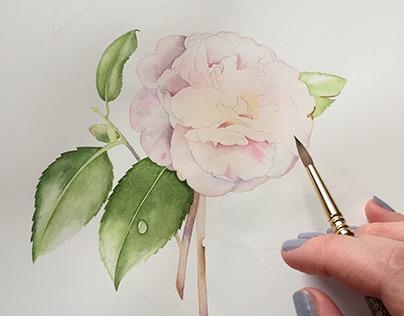 Camellia Japonica botanical illustration