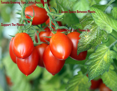 Tomato Growing Tips | John Deschauer