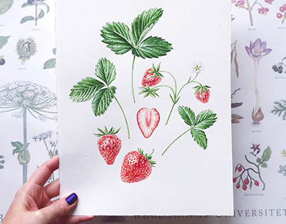 Rørosmeieriet - Watercolor Illustrations for packaging