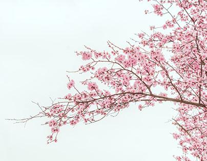 peaches in blossom